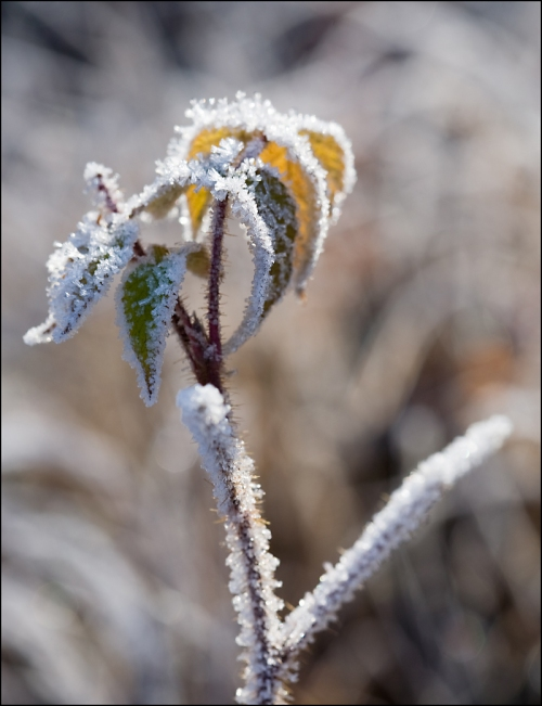 Leafy Frost