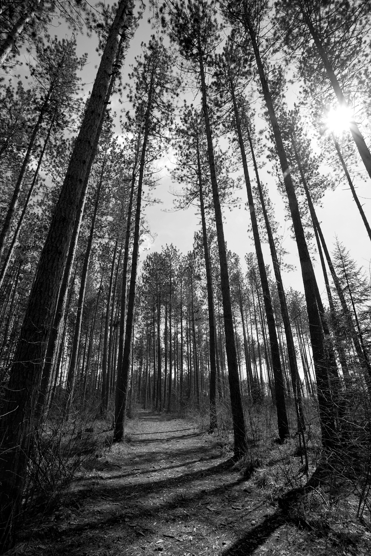 Red Pines In Black And White Photodyssey