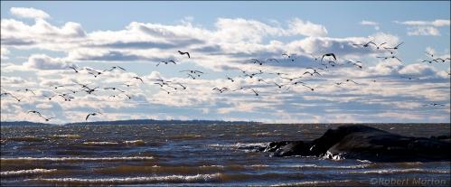 Gulls 2
