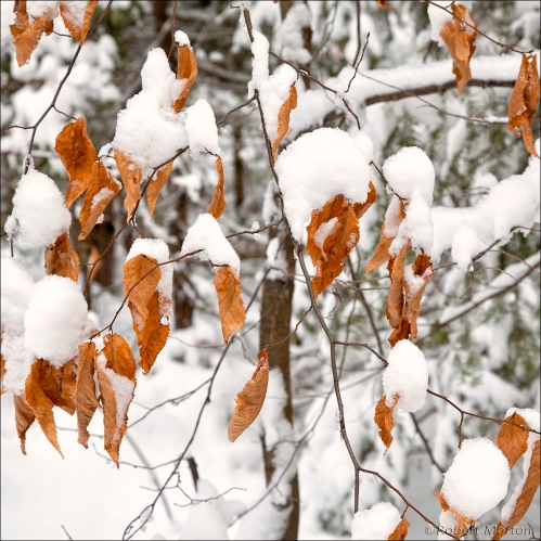 Leaves Snow