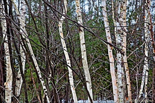 Birches And Branches