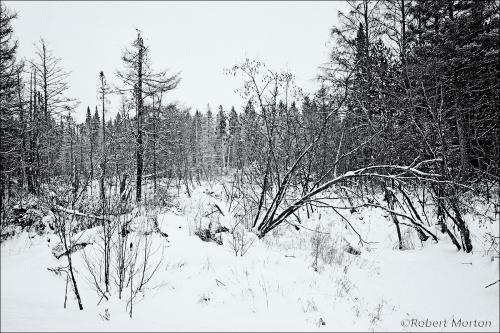 Snowy Swamp BW