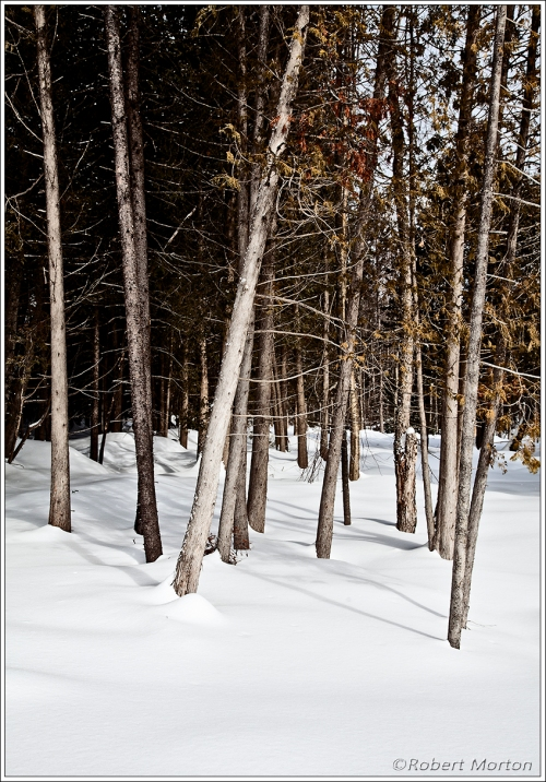 Cedar March Bush