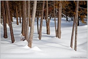 Cedars and Snow
