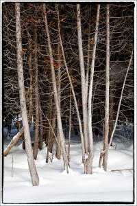 March Cedars