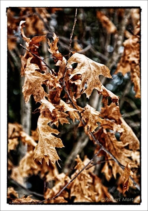 Winter-Oak-Leaves