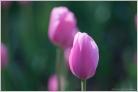 Pink Closeup