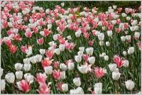 Pink White Carpet