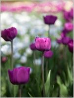 Purple Close