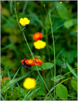 Hawkweed Buttercups