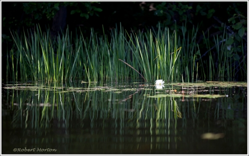 Reeds & White Lily
