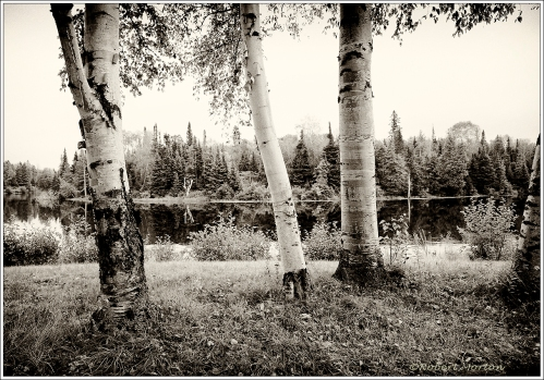 Sturgeon River Birches 2