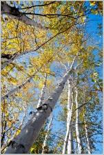 Birch Gold