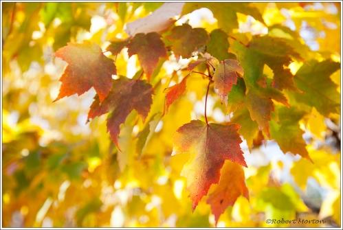 Gold Maple