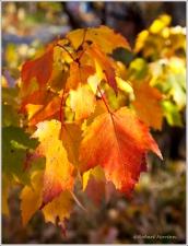 Maple Gold