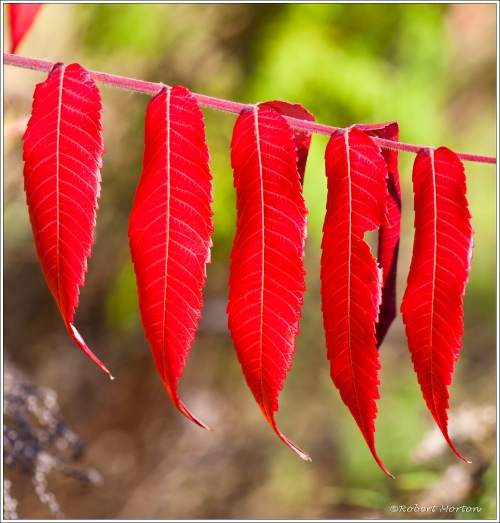 Sumac Red