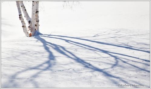 Birch Shadows