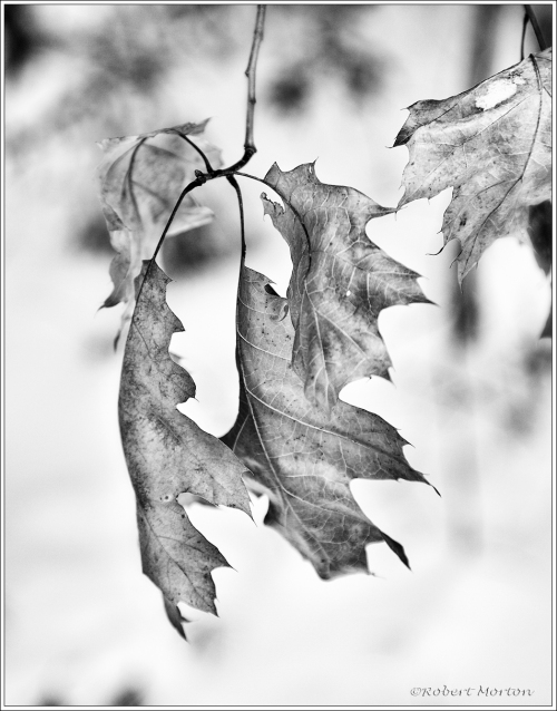 Oak Leaves I Mono