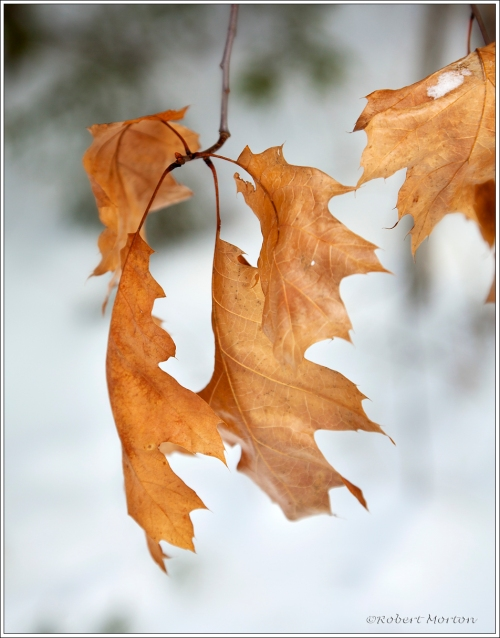 Oak Leaves I