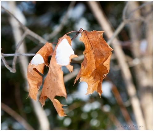Oak Leaves II