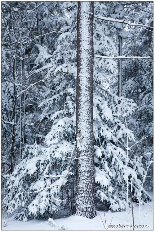 Pine Trunk Snow