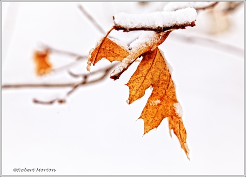 Oak Leaf Snow 2
