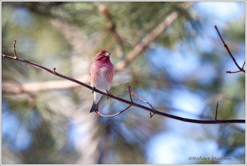 Male Red Finch