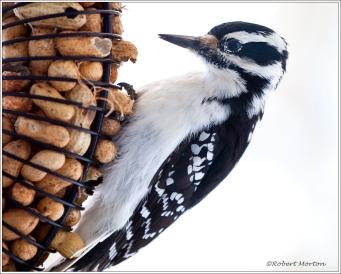 Nuts & Woodpecker