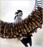 Peanut & Woodpecker