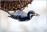 Woodpecker & Shell