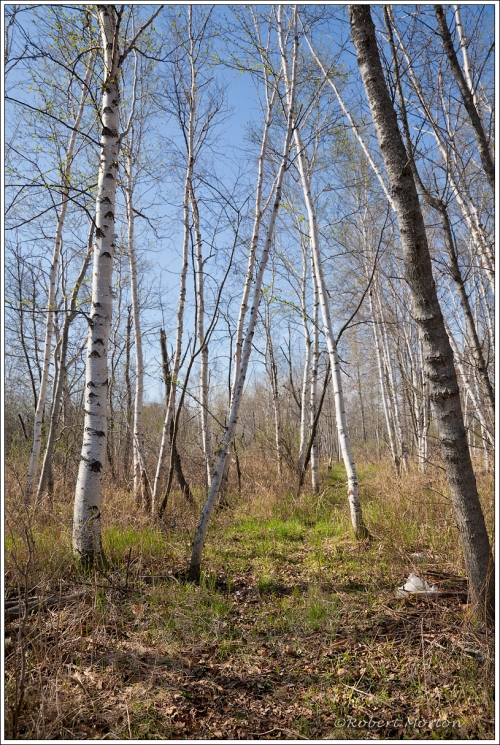 Circle Lake Birches