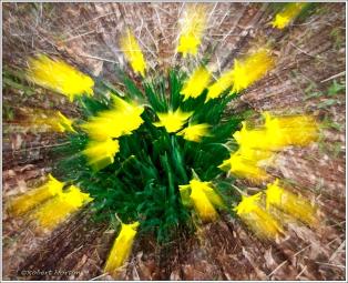 Daffodil Zoom II