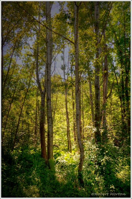 Chippewa Forest