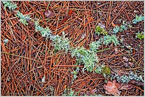 Lichens on Pine Branch