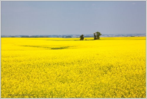 Yellow Canola