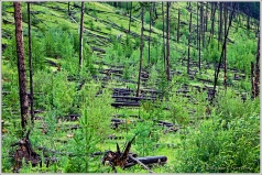 1993 controlled burn beside the Bow River Parkway in Banff National Park. Slowly regenerating habitat.