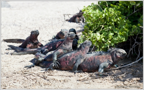 Marine Iguanas Warming In the Sun