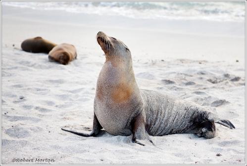 Sea Lion I