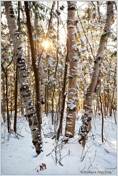 Sunset Birches