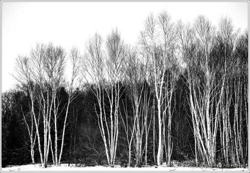 Birch Wall