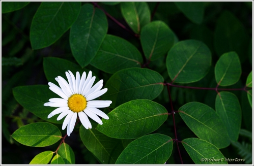 Daisy and Leaves
