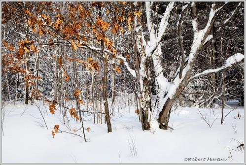 Oak Birches Snow
