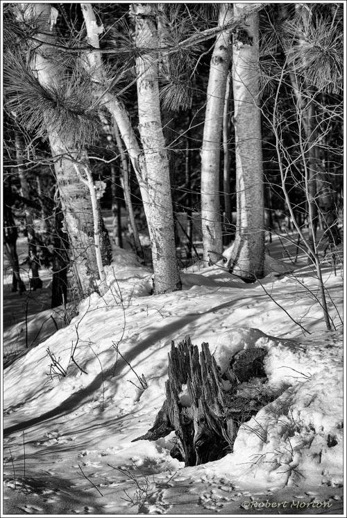 Stump Birches