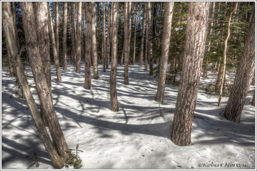 Pines and Snow