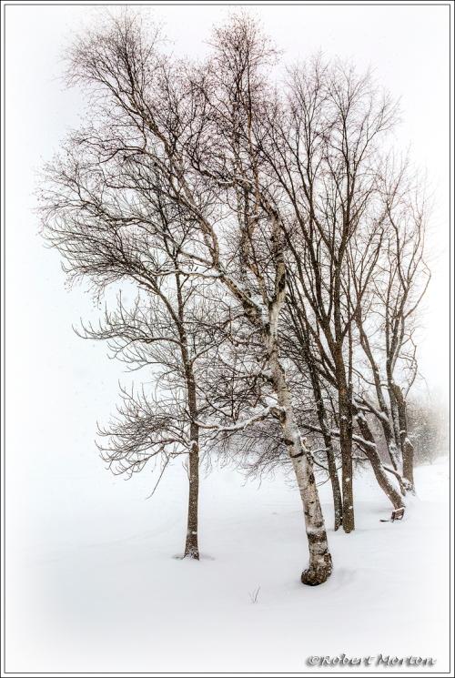 Storm Birches