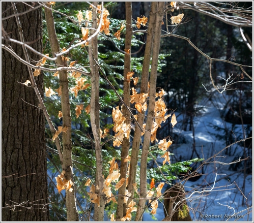 Light Maple