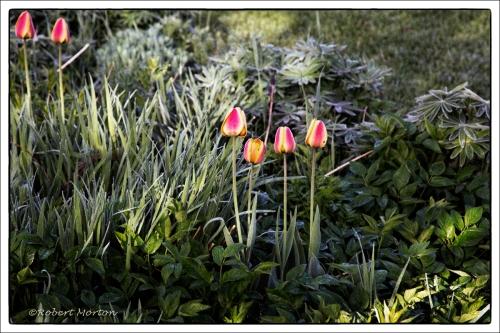 Tulip Six