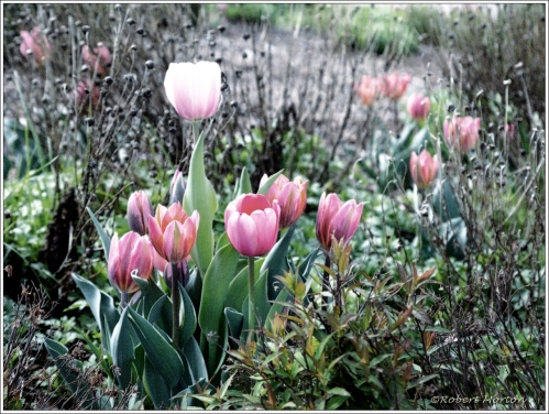Tulips Autochrome