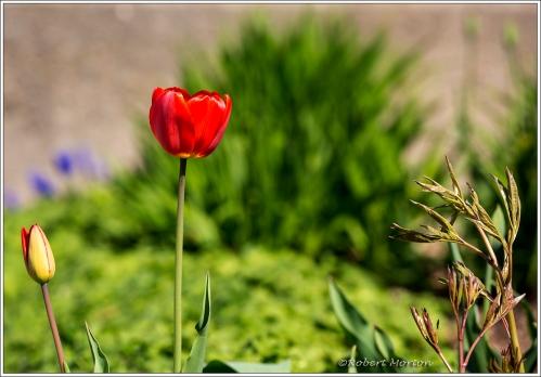 Waterfront Tulip