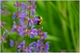 Bee Purple Flower